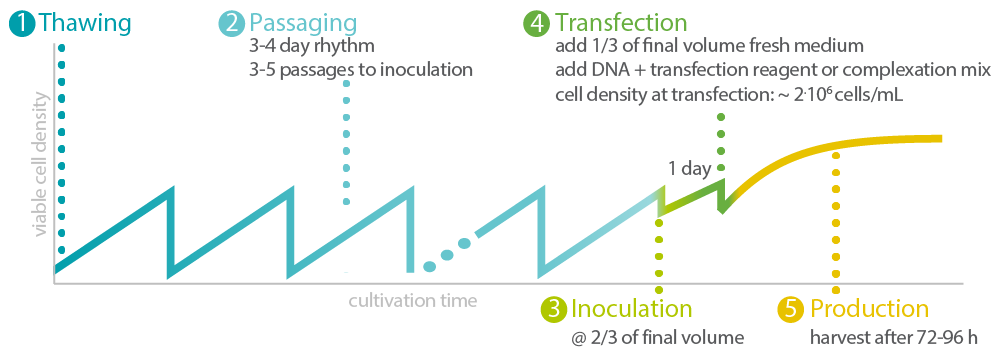 Figure 1: Exemplary procedure for seed-train and production process. See the actual transfection and AAV-2/ AAV-8 production data